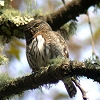 Mountain Pygmy-Owl Photo