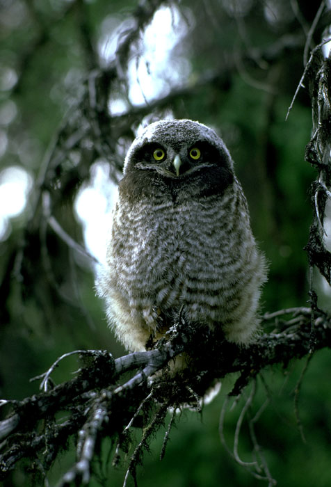 Northern Hawk Owl by Douglas Herr� 1981