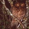 Bare-shanked Screech Owl Photo