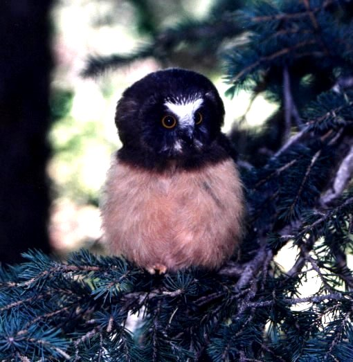 Northern Saw-whet Owlet