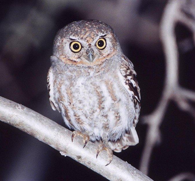 Elf Owl Photo
