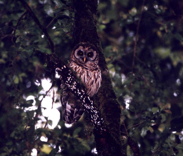 Fulvous Owl