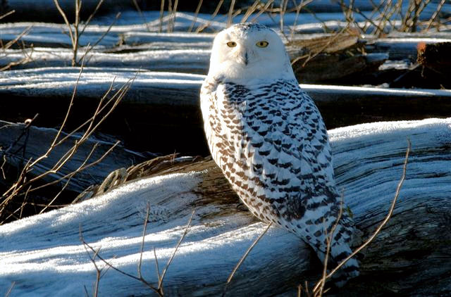Snowy Owl by Ed Robertson © 2006