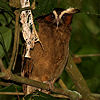 Crested Owl Photo