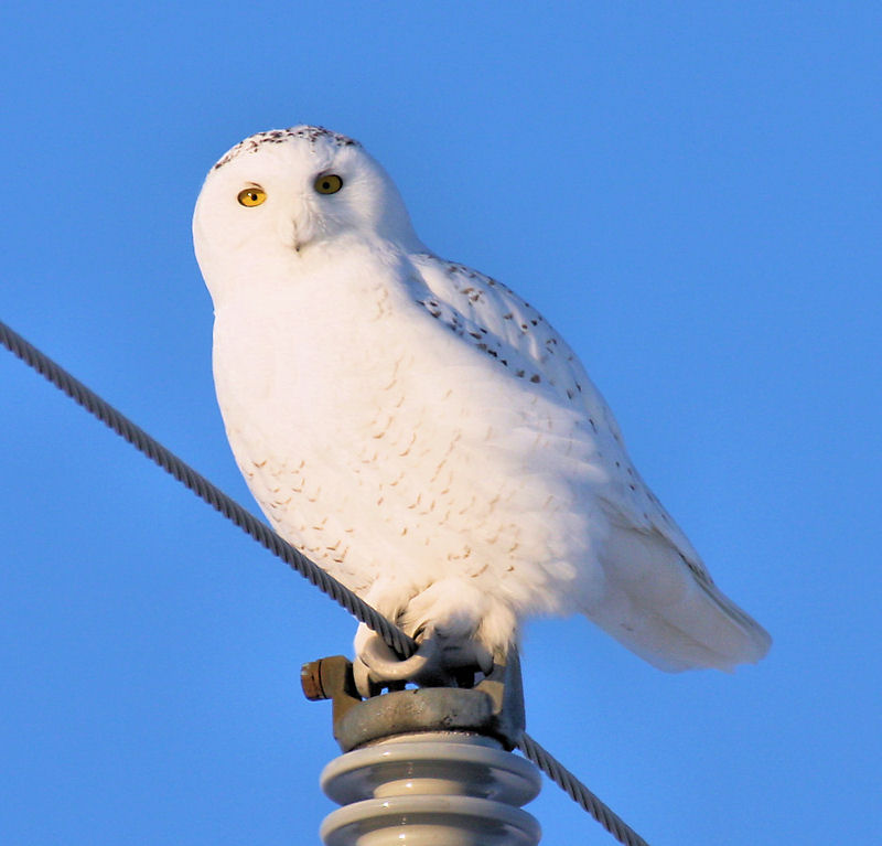 Snowy Owl by Dan Lockshaw � 2000