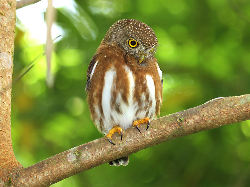 Central American Pygmy-Owl