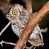 Whiskered Screech-Owl Photo