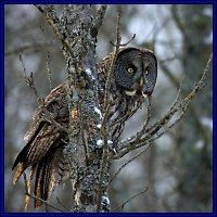 Click Here for photos of Great Gray Owls from the 2004-2005 owl invasion