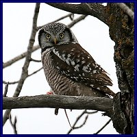 Click Here for photos of Northern Hawk Owls from the 2004-2005 owl invasion