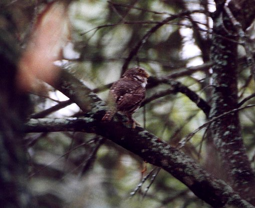 Mountain Pygmy-Owl
