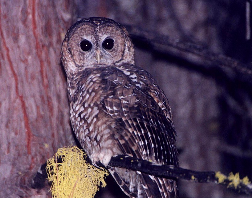 Spotted Owl by Dan Lockshaw � 2000