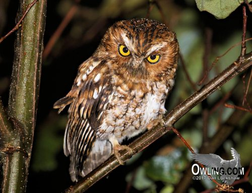 The Owls of Chiapas