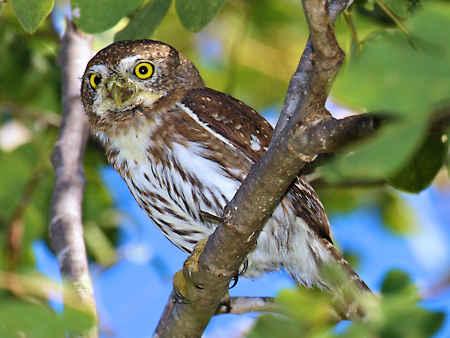 Cape Pygmy-Owl