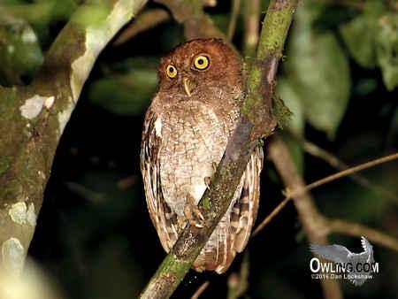 Choco Screech-Owl