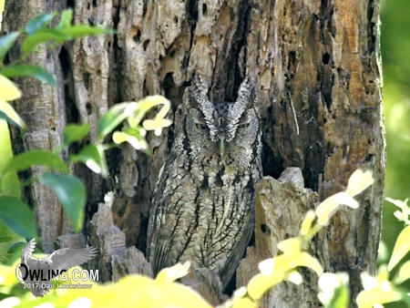 Owling in the daylight for Eastern Screech-Owl