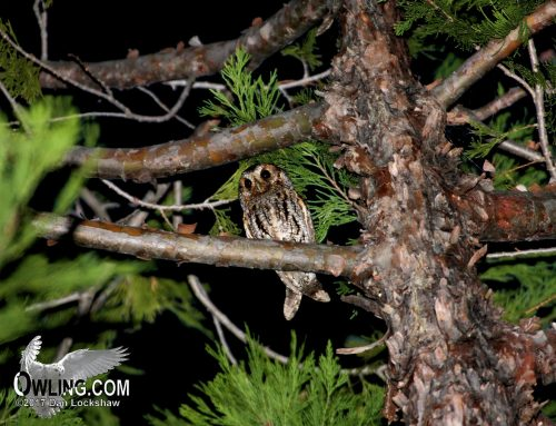 Flammulated Owl – A ghost in the night