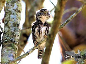 Guatemalan-Pygmy-Owl