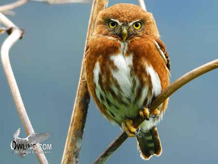 Guatemalan Pygmy-Owl
