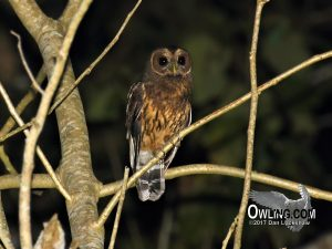 Mexican Wood Owl