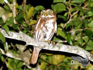 Ridgeways Pygmy-Owl
