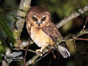Unspotted-Saw-whet-Owl