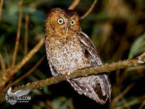 Bare Shanked Screech-Owl