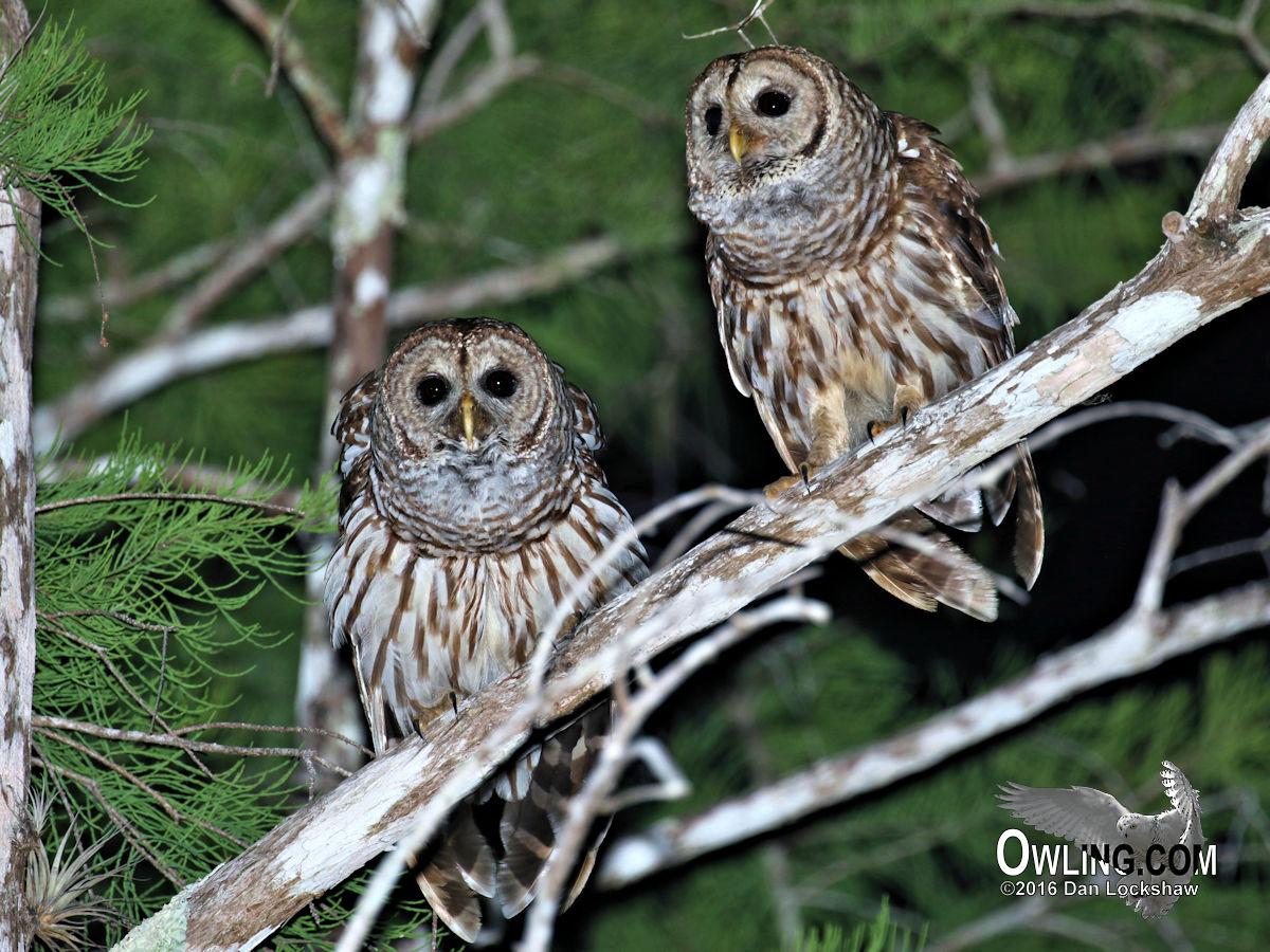 Barred Owl Biology - Owling com