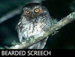 Bearded Screech-Owl