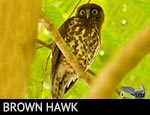 Brown Hawk-Owl