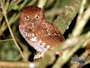 Choco Screech owl