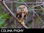 Colima Pygmy-Owl