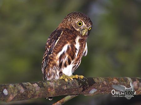 Costa Rican Pygmy-Owl