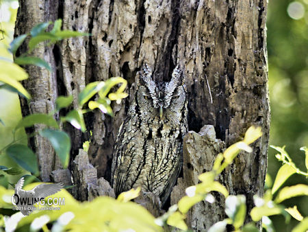 Eastern Screech-Owl camouflaged against tree