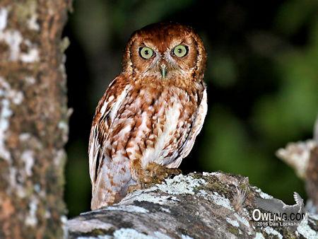 Red Morph Eastern Screech-Owl