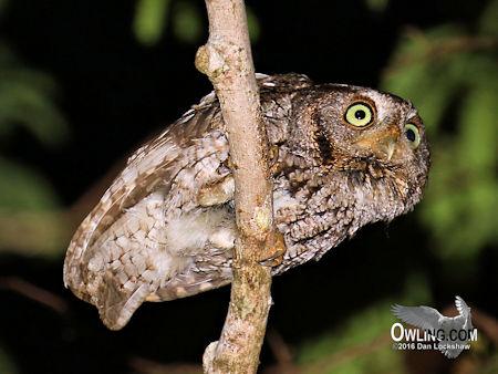 Brown morph Eastern Screech-Owl