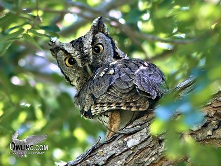 Eastern Screech-Owl