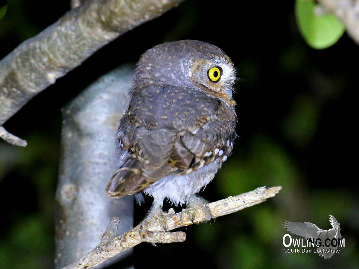 Elf Owl Biology - Owling.com