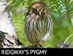 Ridgway's Ferruginous Pygmy Owl