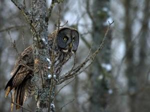 Northern Owl Invasion