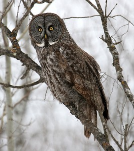 Northern Owl in tree
