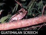 Guatemalan Screech-Owl