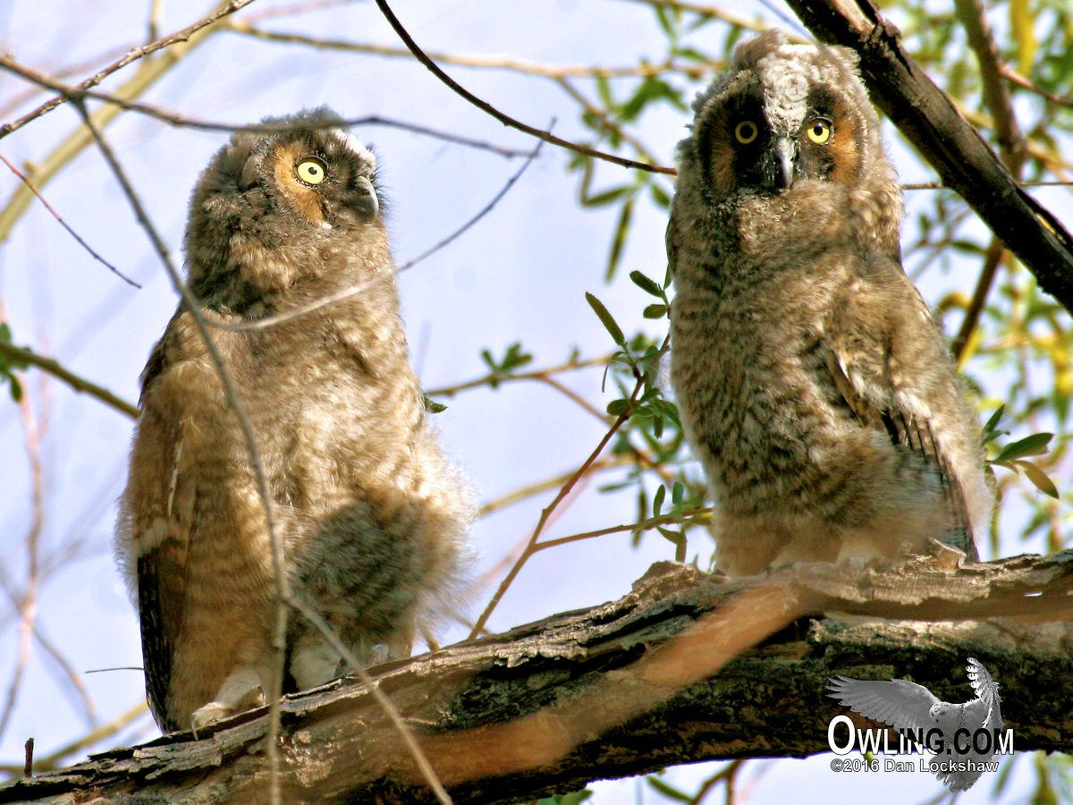 Long Eared Owl Biology Owling Com
