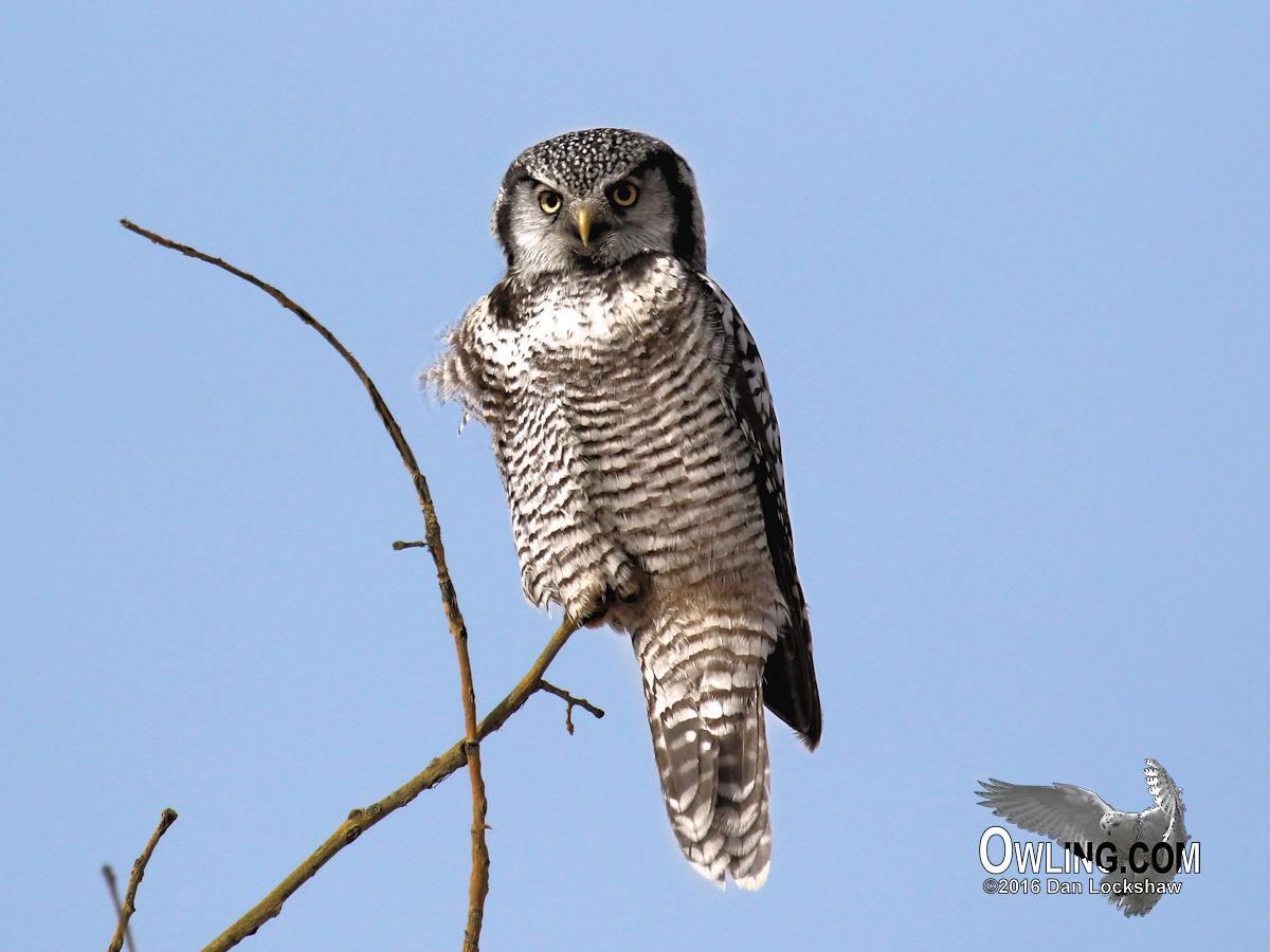 northern hawk owl biology owling com