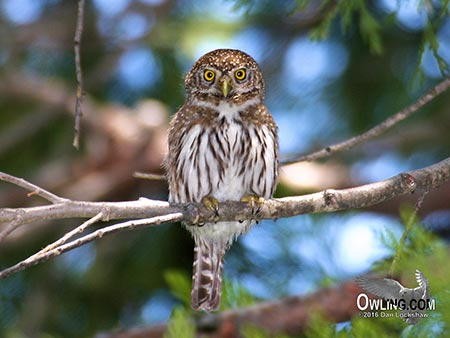 Owling in the daylight for Northern Pygmy-Owl
