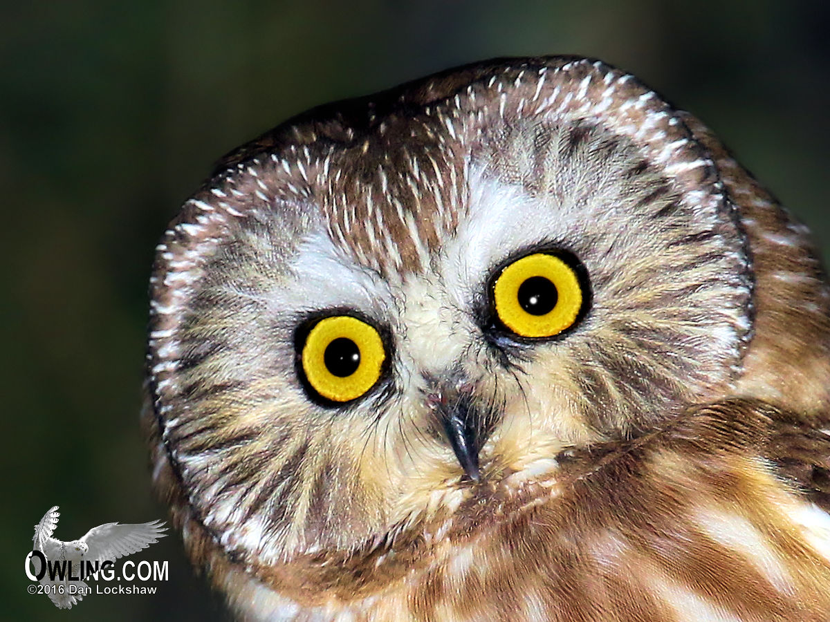 New Mexico Highlands >> Northern Saw-whet Owl Biology - Owling.com