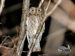 Oaxaca Screech-Owl