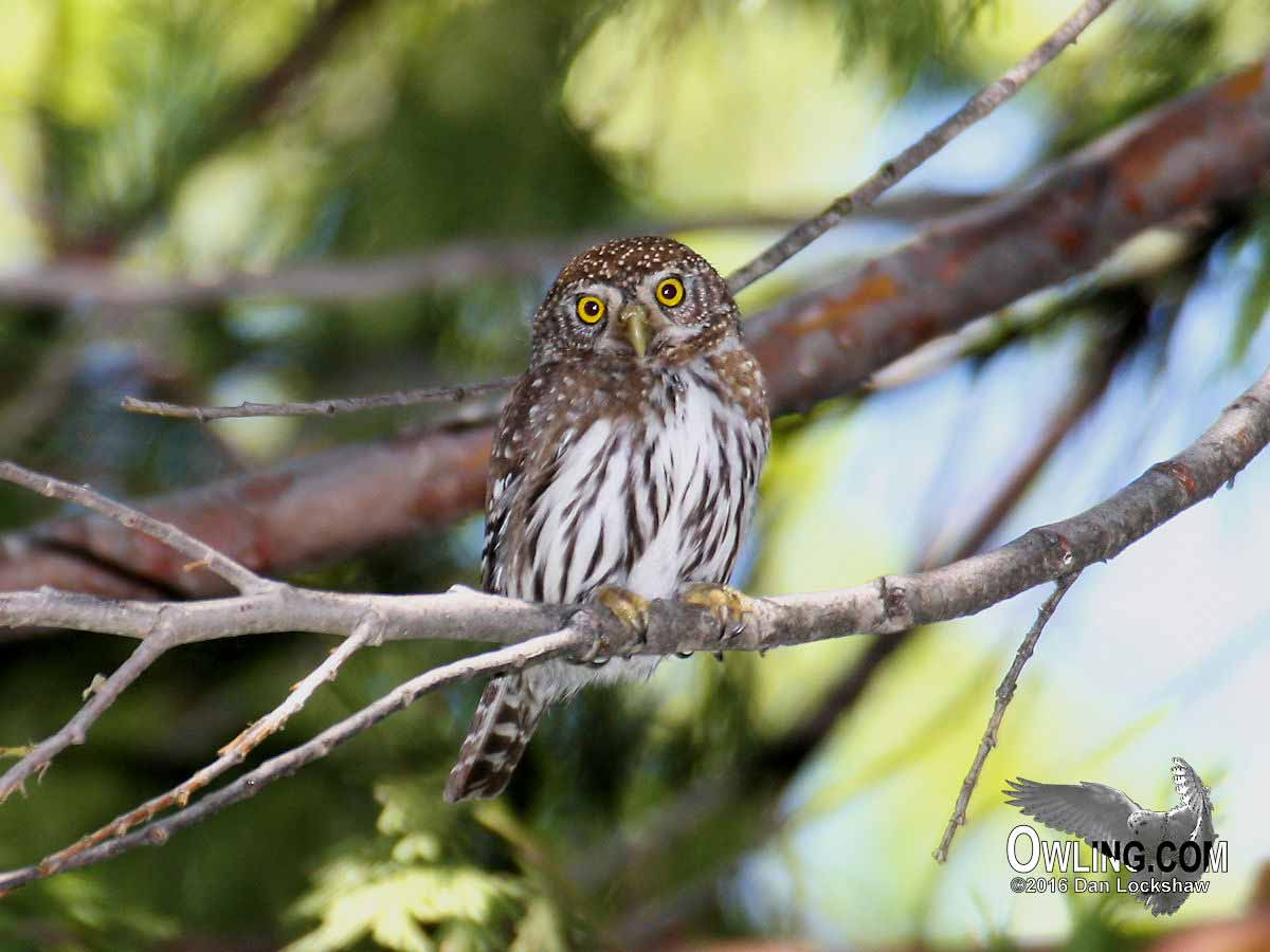yosemite national park ca 52015 - Picture Of Owl