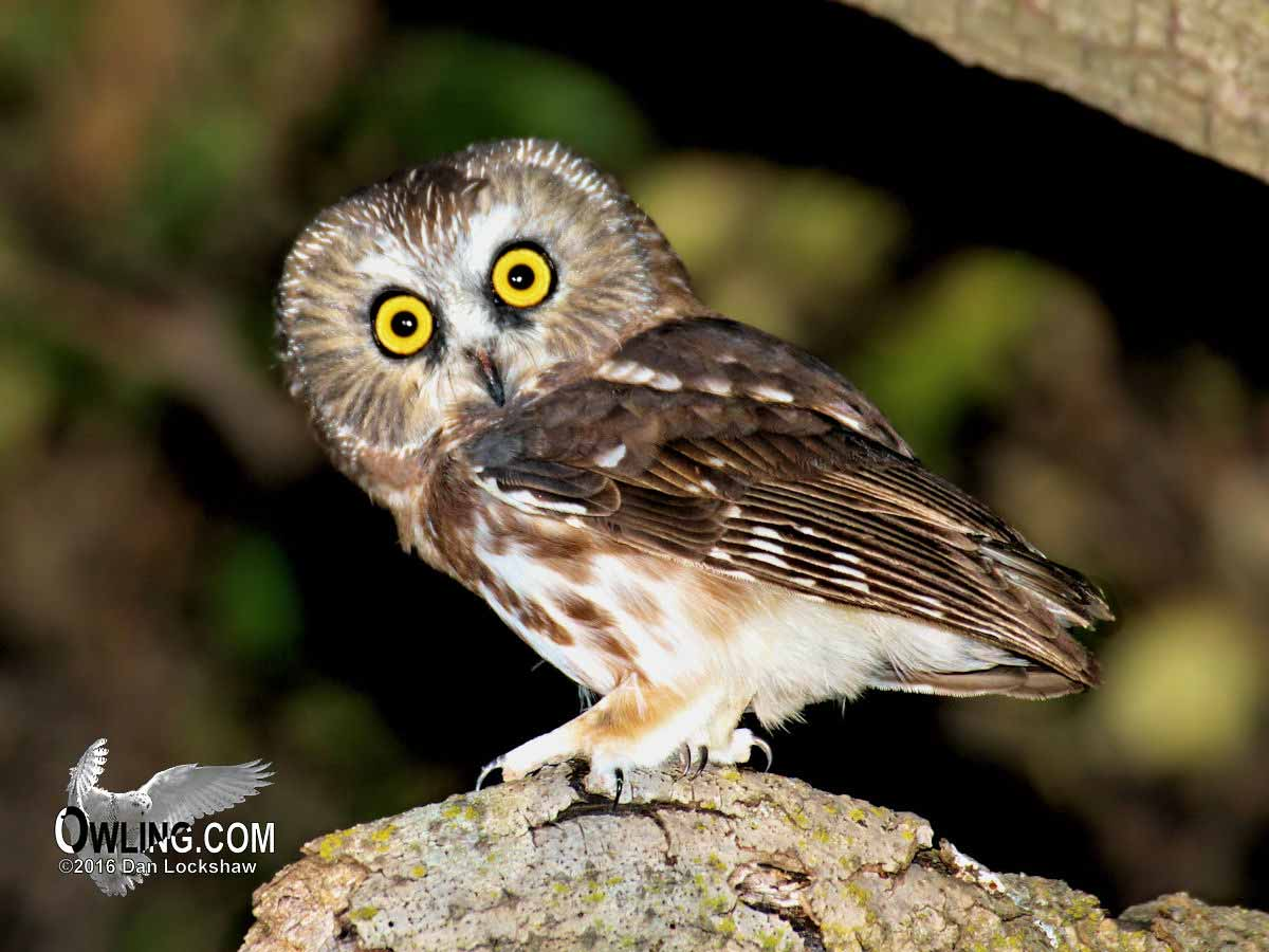 northern saw whet owl owling com