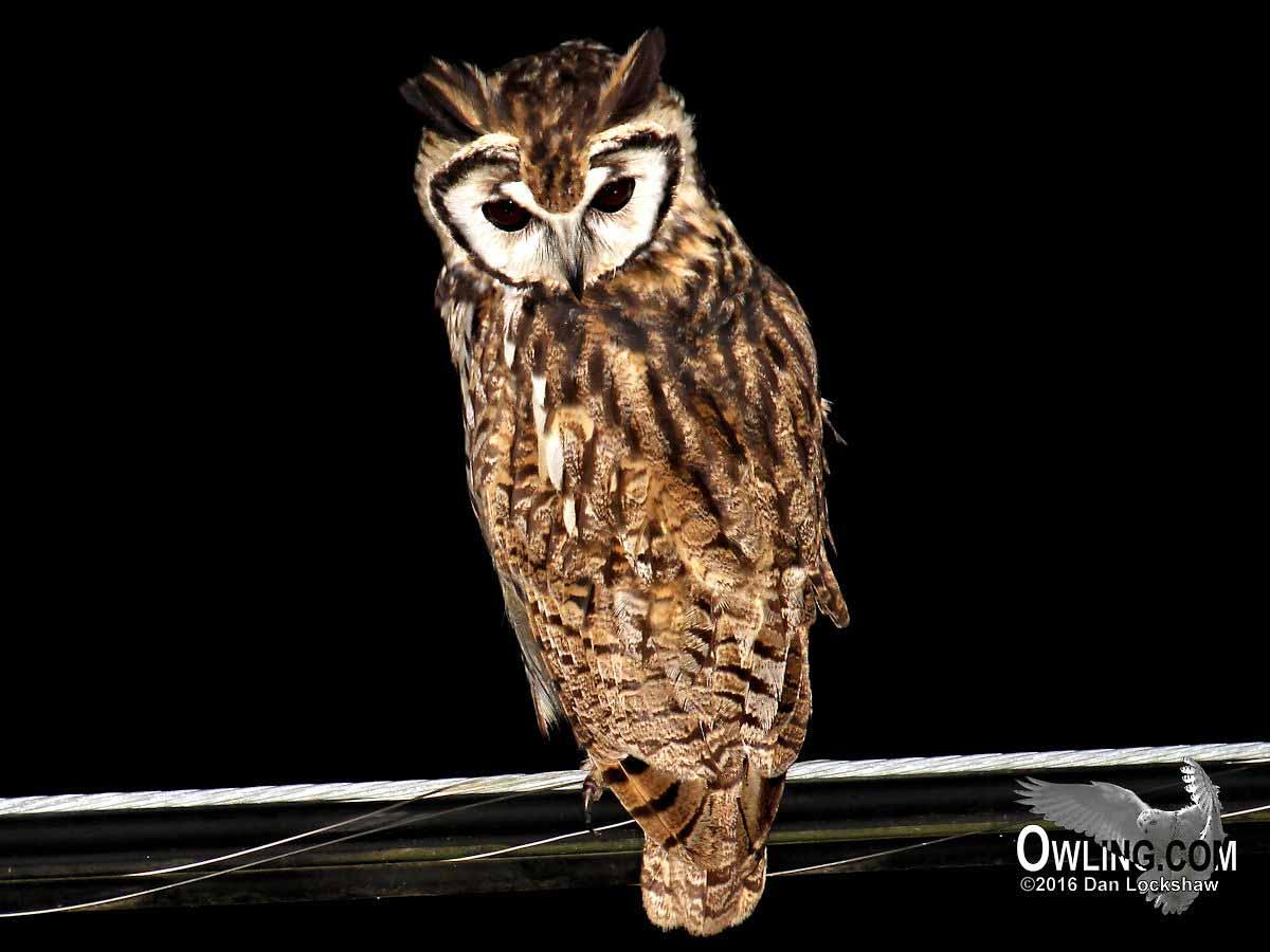 Striped Owl Owling Com