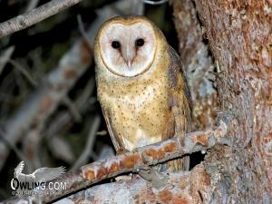 Barn Owl - Carrizo, CA 12/2015